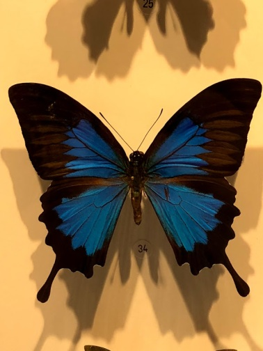 bluemuseumbutterfly